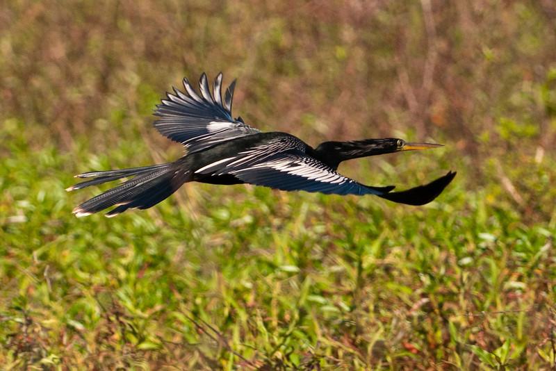 Anhinga - male - flight - Lake Toho - Kissimmee, FL