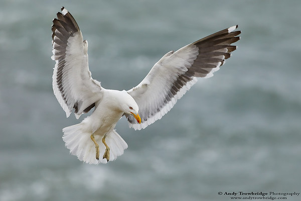 Southern Black-backed / Kelp Gull
