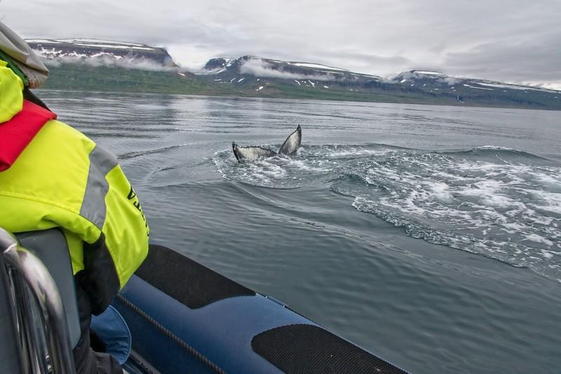 whale isafjordur 3 copy8.jpg