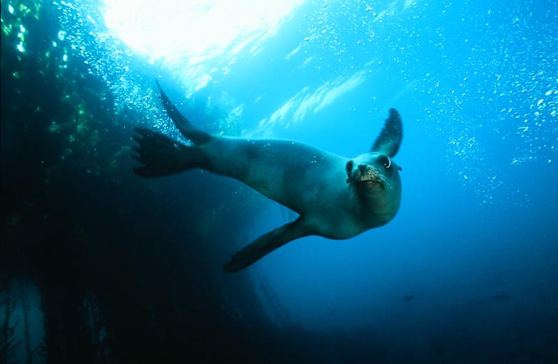 California sea lion , Channel Islands Marine Sanctuary