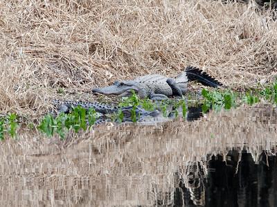 untitled20110203_Alligator MyakkaLakeFL_7I2B4638_11-02-03