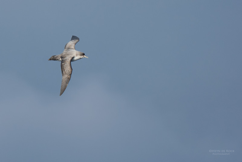 Grey Petrel, Eaglehawk Neck Pelagic, TAS, July 2015-4.jpg
