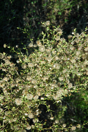 Noxious Weeds at Lime Ridge North