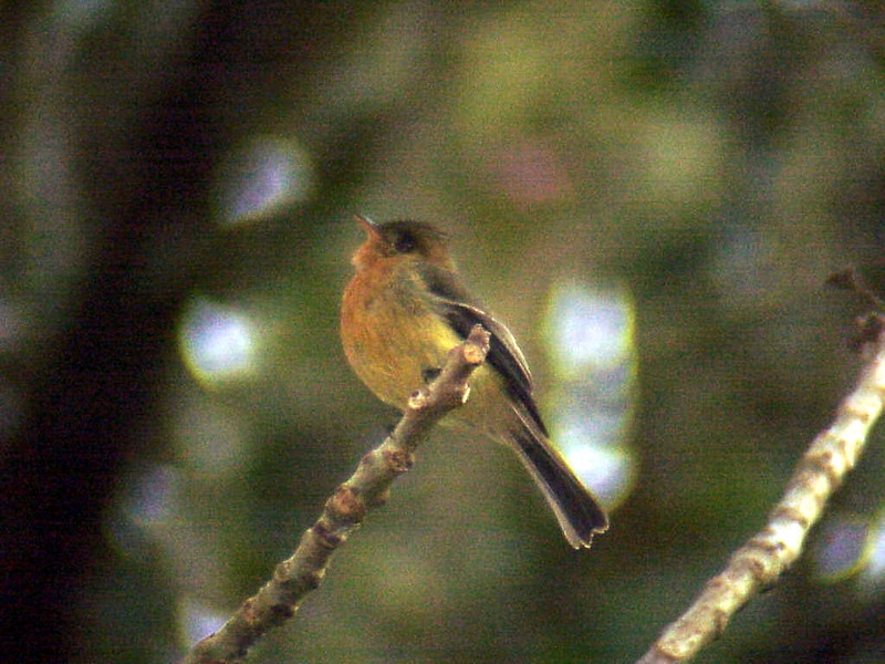 Tufted Flycatcher at Savegre Mountain Lodge Costa Rica 2-14-03 (50898319)