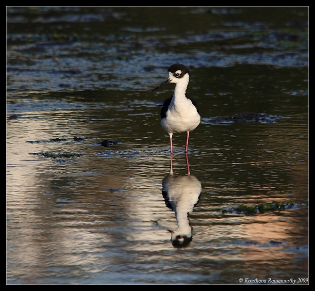 Black-necked Stilt in evening light, Famosa Slough, San Diego County, California, June 2009