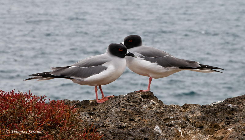 A pair of swallowtail gulls posing on South Plaza Island