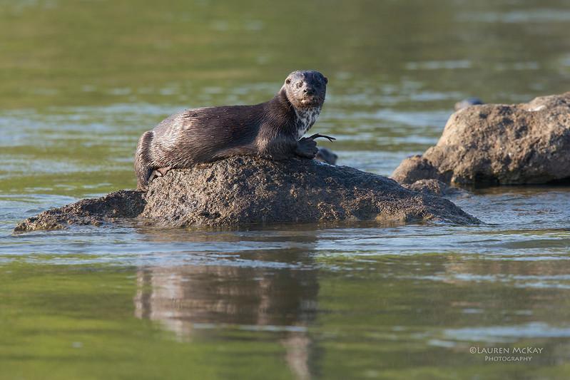 Spot-necked Otter, Chobe River, NAM, Oct 2016-2.jpg