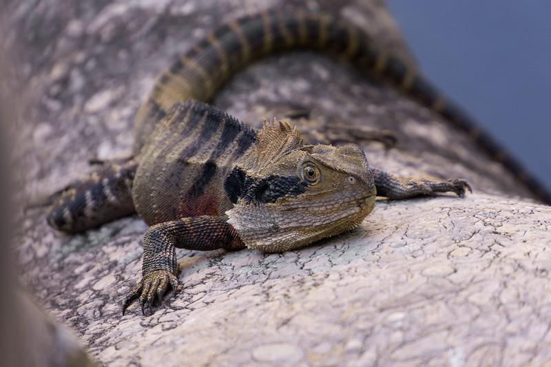 Aussie Lizard || Sydney