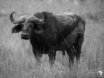 B&W Bull