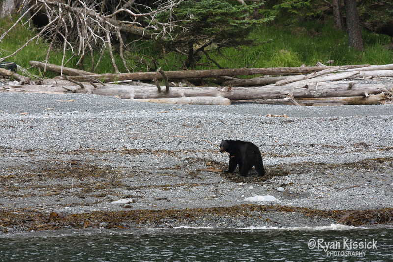 Black Bear looking for its next meal on the beach