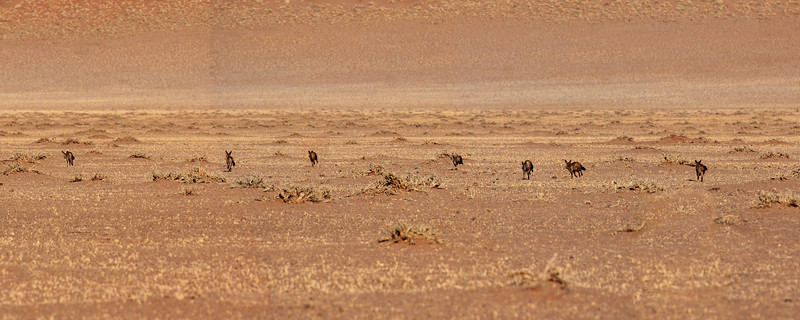 Bat Eared Foxes on the Run