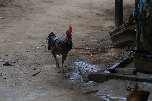 Photo of a rooster taken from eye-level