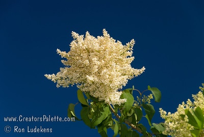 Pekin Tree Lilac - Syringa pekinensis