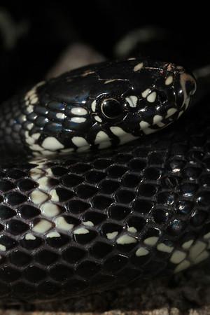 018 Eastern King snake