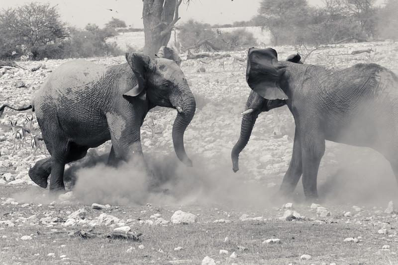 Elephant FIght