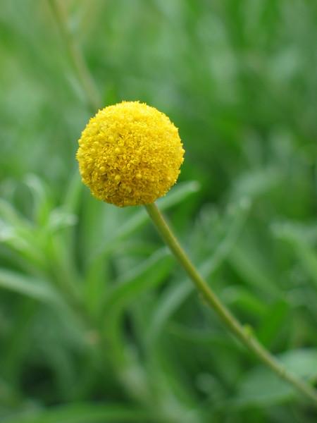 Pycnosorus chrysanthes - Golden Billy Buttons