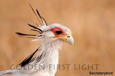 Secretarybird, Kenya