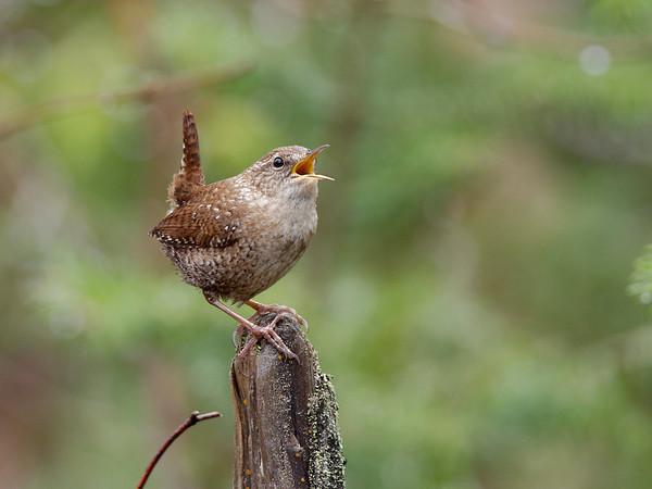 Migrant Song Birds