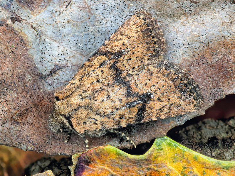 Hanham's Quaker Moth