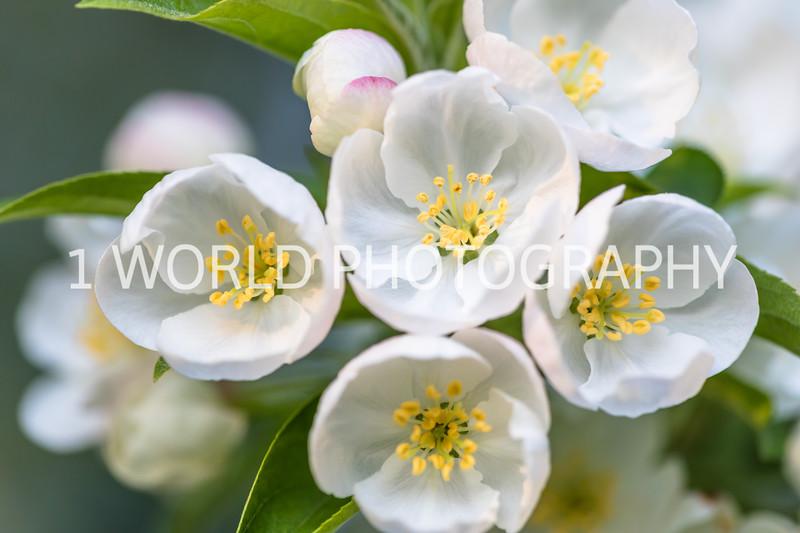 201905132019_Backyard Apple Blossoms028--141.jpg