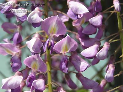 Wisteria floribunda 'Violacea' - Royal Purple Wisteria