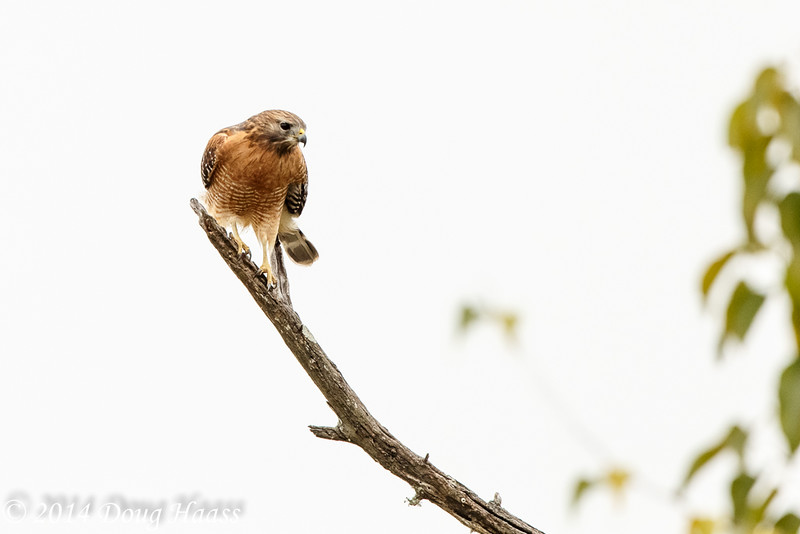 Red-shouldered Hawk Buteo lineatus - Baytown, TX