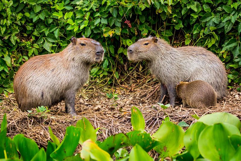 Capybara of the Pantanal, Brazil-8.jpg