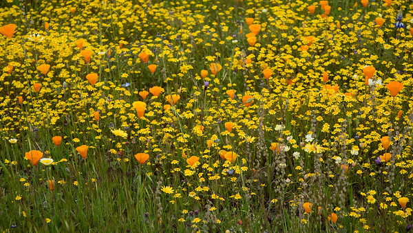 SLO Wildflowers, Spring 2019