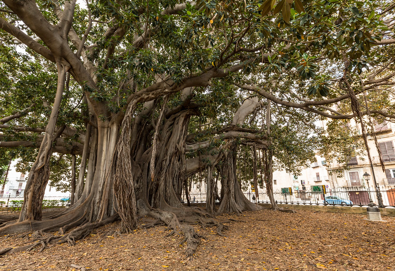 The impressive Australian Banyan tree (ficus magnoloides or ficus macrophylla) in the Giardino Garibaldi