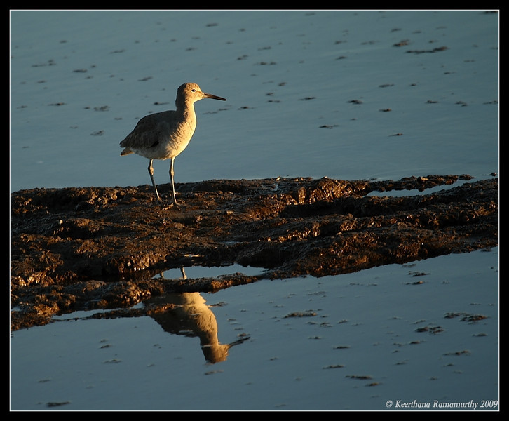 Willet staring at sunset, Tijuana River Estuary, San Diego County, California, January 2009