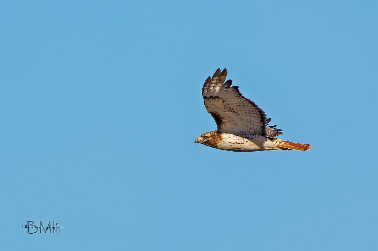 IMAGE: https://photos.smugmug.com/Photos-for-sale/Raptors/i-GbkQdFM/0/1d5b0c8d/X2/Red-tailed%20hawk%201-12-18-4-X2.jpg