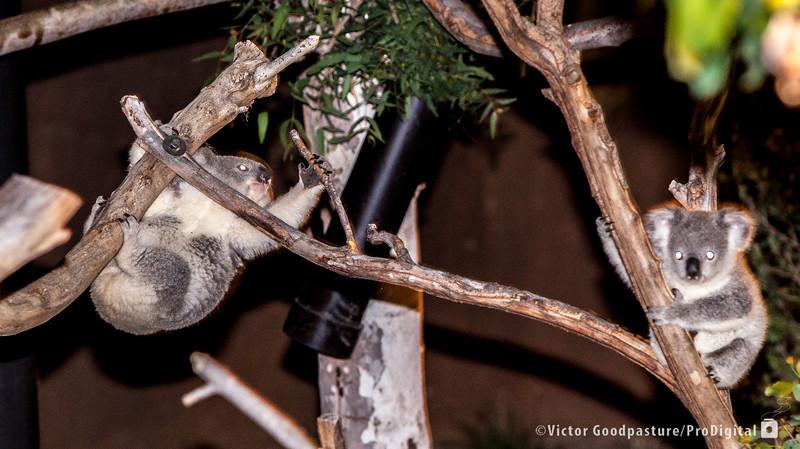 Koalafornia-37.jpg