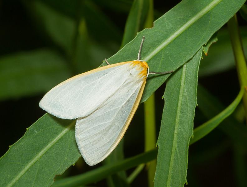 Tiger moth (Arctiini, Cycnia sp.) from Iowa.