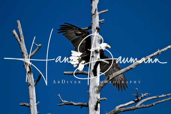 Eagles, hawks and other raptors