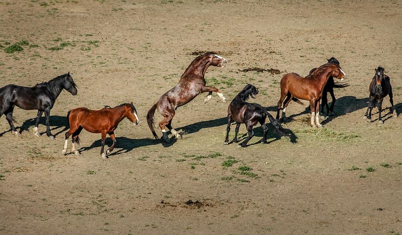 Stallions Fighting #3, RTF