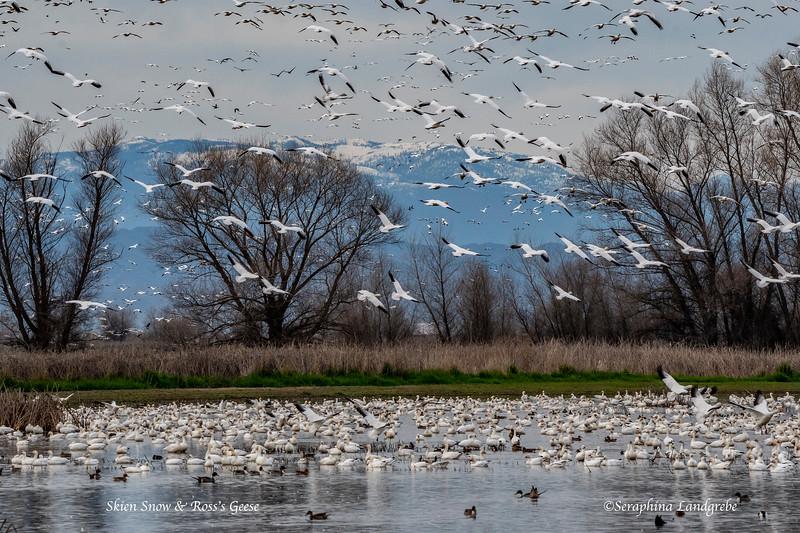 _DSC8822Skien Snow Geese.jpg