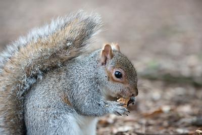 Squirrel enjoying a peanut meal