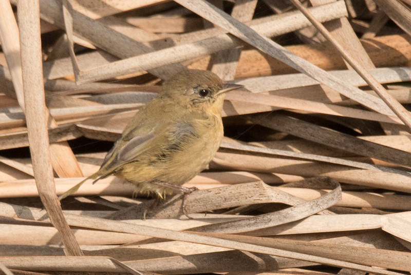 Common Yellow Throat fledged chick in the bulrushes.