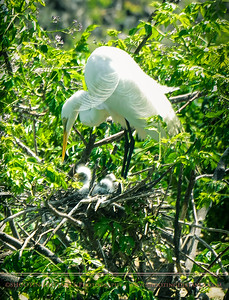 Mother Great Egret Tends Youngsters, Smith Oaks Rookery