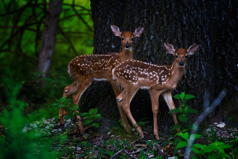 6.12.17 - Prairie Creek Recreation Area: Twin Whitetail Deer Fawns