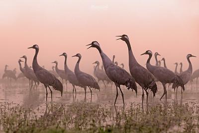 Żurawie / Cranes