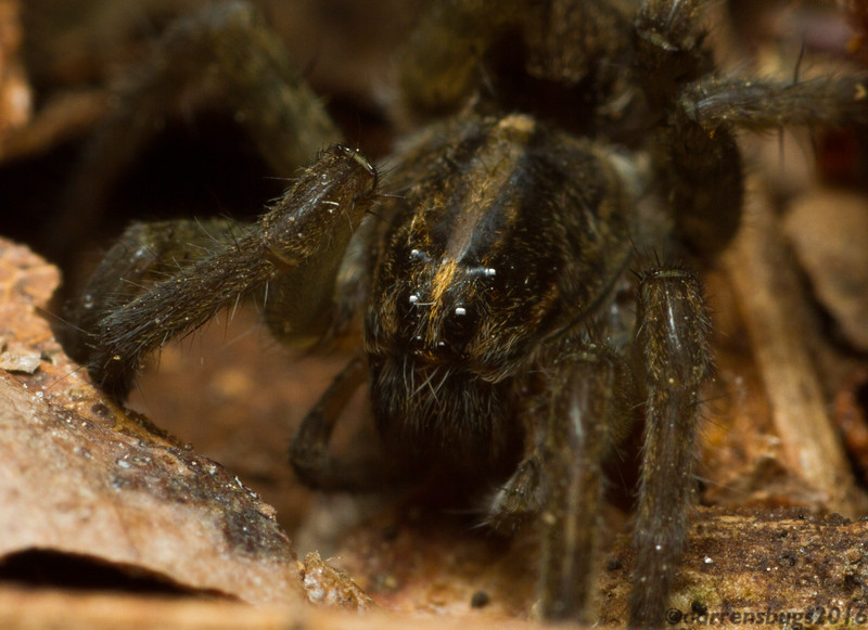 A young wolf spider, family Lycosidae, stalks the forest floor at night. (Iowa, USA)