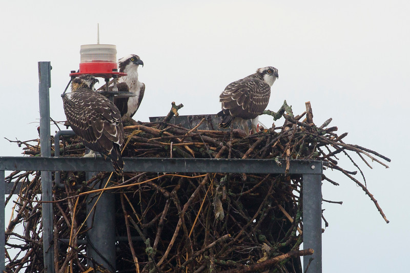 An Osprey family on a marker in the lake