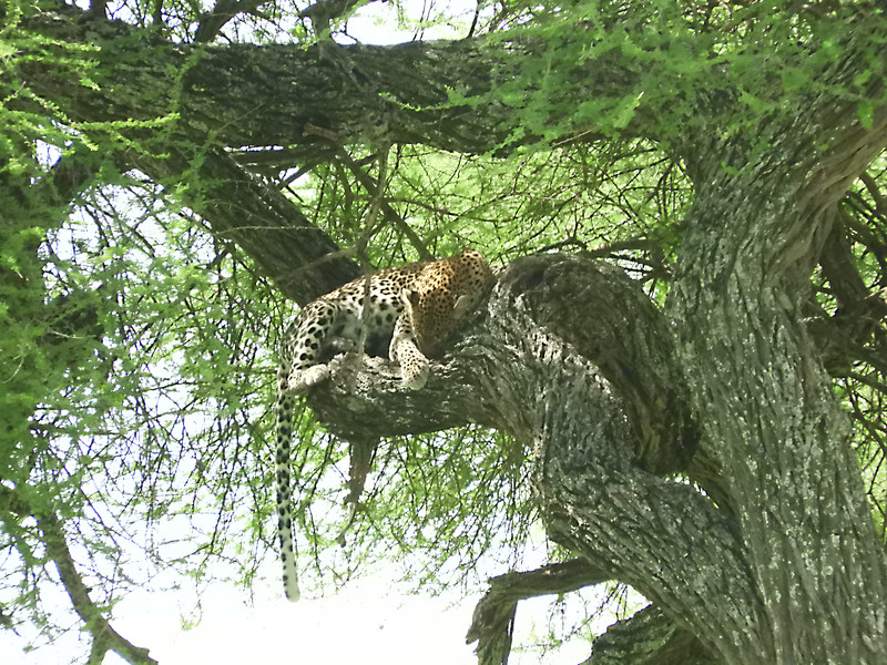 Leopard up a tree DSCN0312.jpg