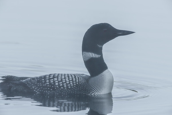 7-25-17 Common Loon - Adult
