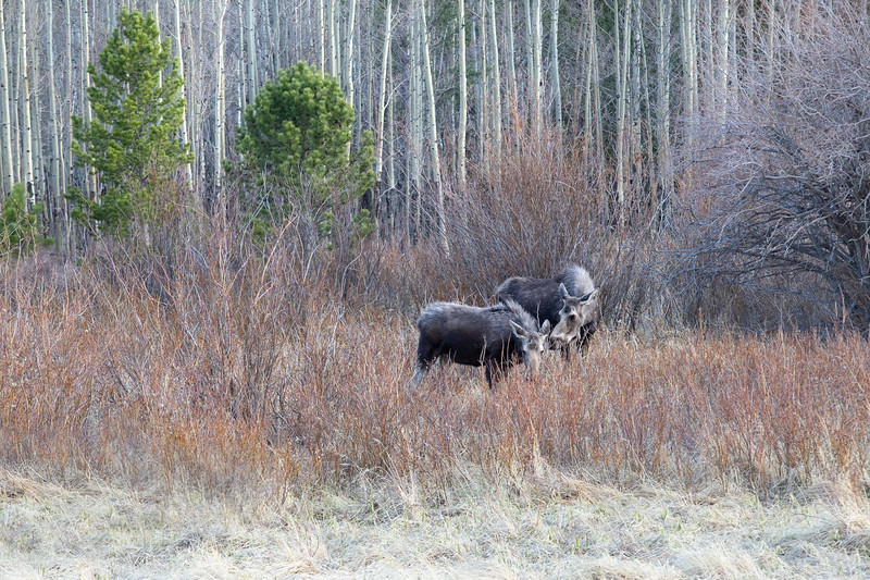 Yes!  There are MOOSE in Colorado!  Mama and Baby at Lily Lake