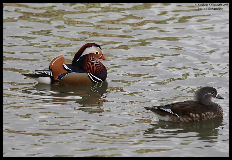 Mandarin Ducks, Lindo Lake, San Diego County, California, December 2008