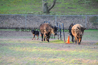 Saturday CRC Cattle
