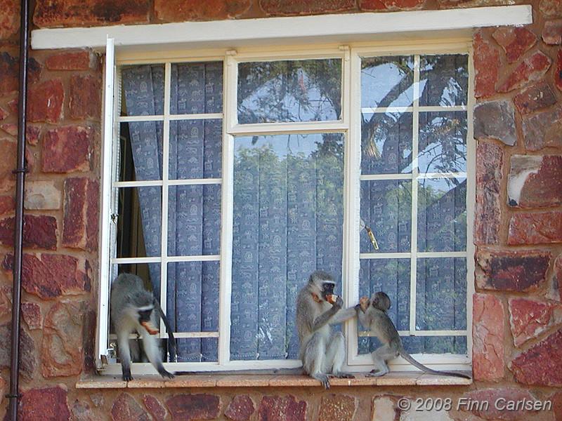 Vervet Monkey på tyvetogt, Forever Resorts Aventura Blyde Canyon, Blyde River Canyon