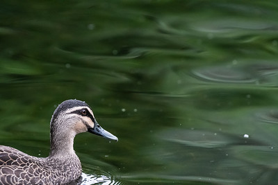 Pacific Black Duck [Anas superciliosa]